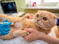 The doctor does an ultrasound examination of the cat's abdomen, an animal on the operating table, a doctor and a patient, a veterinary clinic